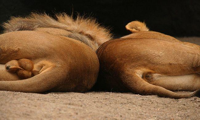 Végzetes hibát ejtett a gondozó: kiszabadult az oroszlán a ketrecből