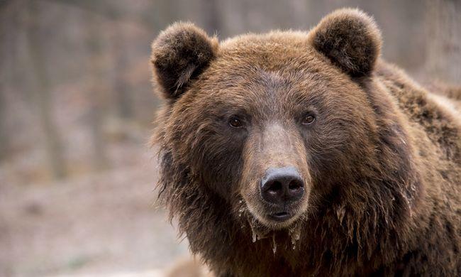 Ennél cukibb ma már nem lesz: ilyen egy medve, aki nyűgös a téli álom után