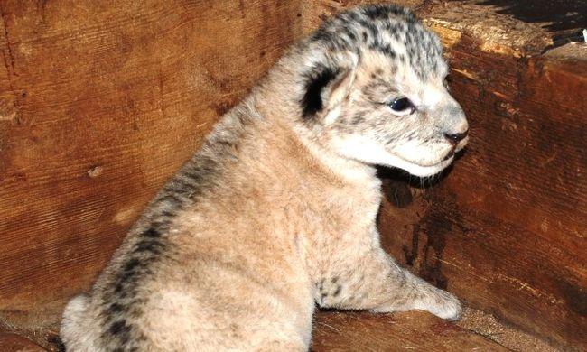 Ritka és nagyon cuki: különleges oroszlán született