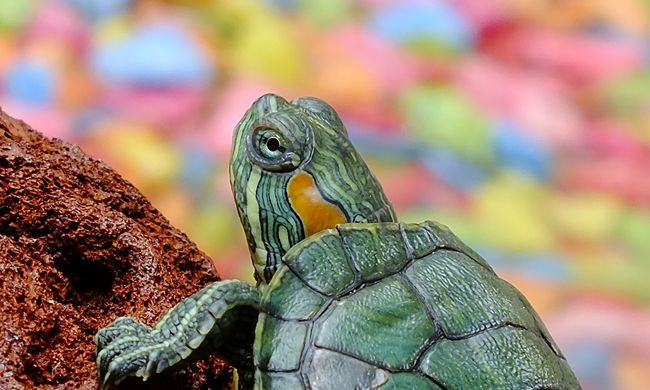 A világ egyik legkülönlegesebb állata is veszélyeztetett faj lett