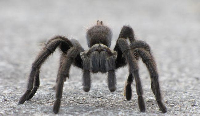 Gondatlan gazdi: több száz pókot sütött meg véletlenül