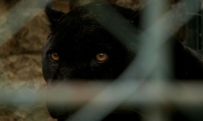 Holtan találták az állatkert egy látogatóját, megszökött a vadállat