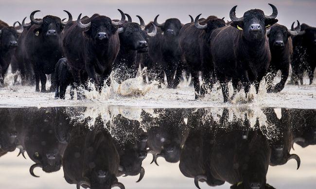 Halálra taposták egymást az állatok, menekülni próbáltak