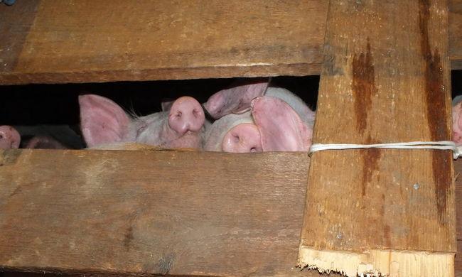 Brutális állatkínzás: elképesztő kis helyre zsúfolták a sertéseket a teherautóban