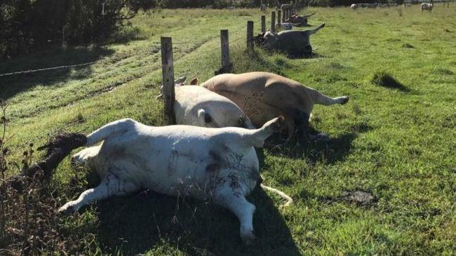 Titokzatos jelenségre ébredt a gazda: tehenei fura pózban pusztultak el