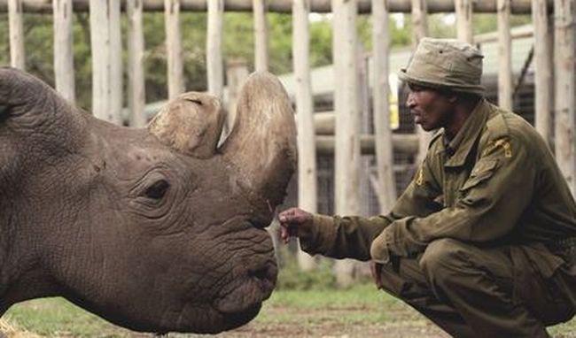 Tragikus vég: elaltatták a világ utolsó hím fehér rinocéroszát