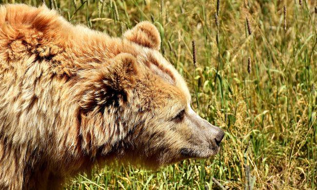 Medve támadt a fiatal nőre, amputálni kellett a lábát