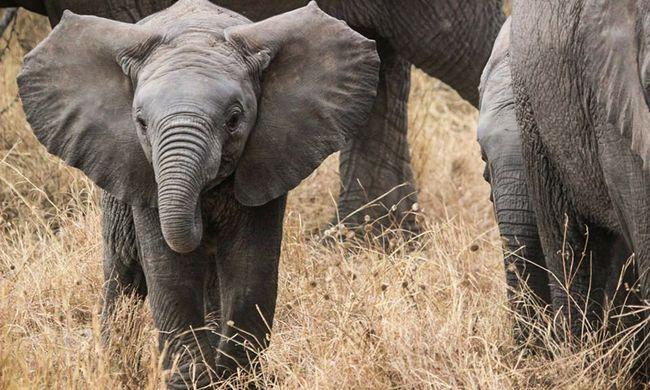 Ennél édesebb ma nem lesz: a kacarászó kiselefánt megolvasztja a szíveket