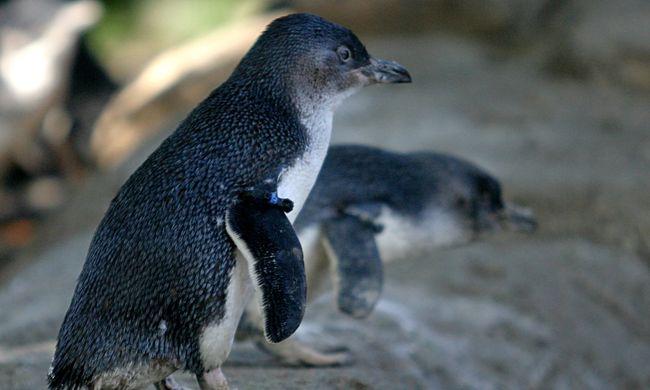 Több tucat szétmarcangolt pingvin feküdt a parton, felelőtlen kutyásokat hibáztatnak