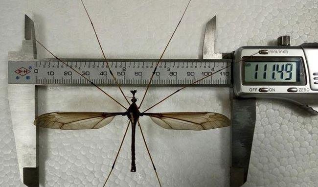 Gigantikus szúnyogfajt fedeztek fel: a különleges rovarok nagyobbak, mint a tenyerünk