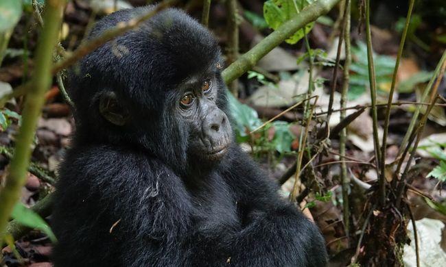 Bánatot mutatnak, akkor is ha veszélyes: különleges módon gyászolnak a gorillák
