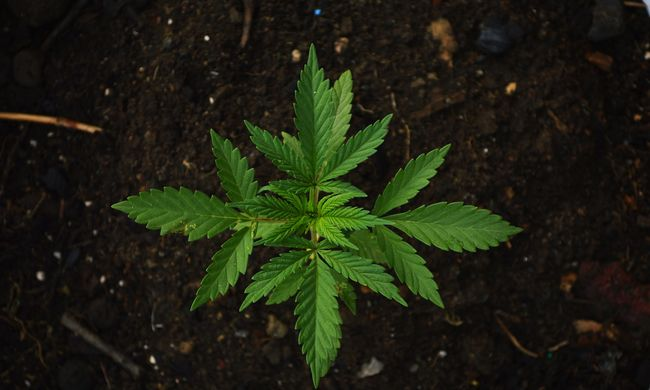 Sátorban termesztett kábítószert egy pár Újbudán