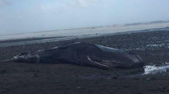 Iszonyat, amit egy partra vetődött bálna gyomrában találtak
