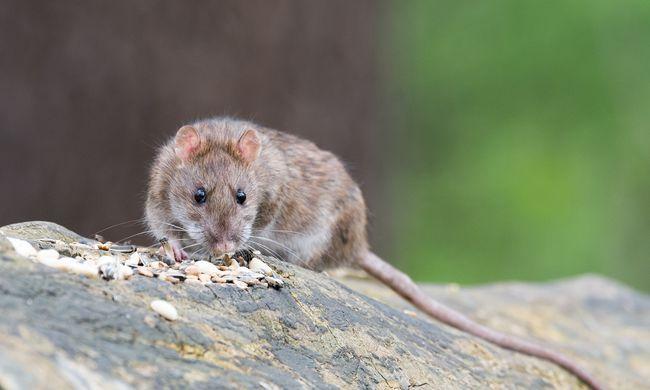 A szakemberek is elképedtek, ilyen pusztítást még nem láttak patkányoktól