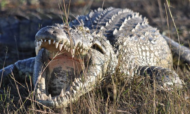 Rémisztő videó, kis híján megharapta gondozóját a vadászó krokodil