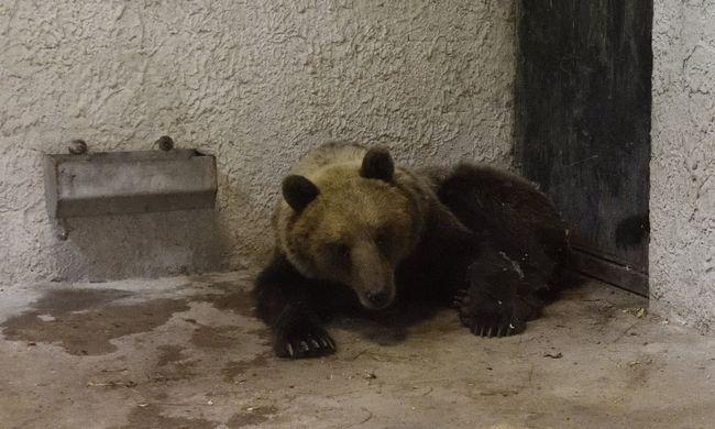 Elkapták Magyarország medvéjét, de így is meglepő dolgokat művel
