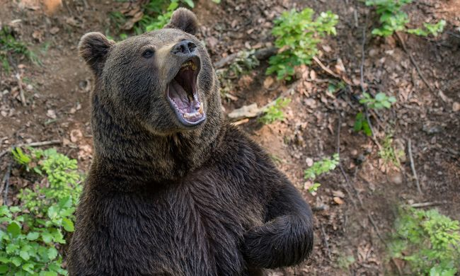 Újabb medvetámadás: Kissolymos határában harapott meg egy pásztort az állat