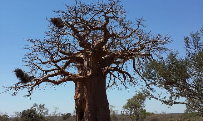 Rejtélyes tömeges pusztulás: egy tucat több ezer éves fa száradt ki
