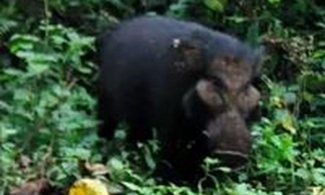 Kivételes videó készült az óriásdisznókról, nem véletlenül rejtőzködnek