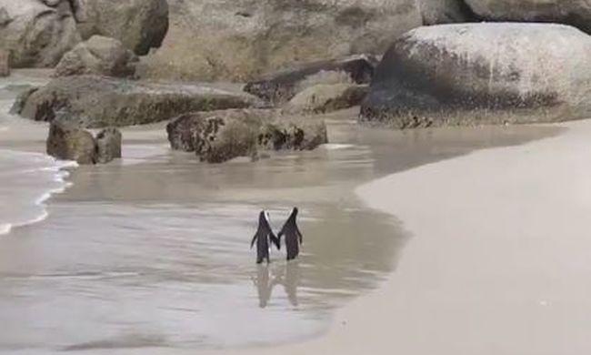 Ennél édesebb ma nem lesz: szerelmes pingvinek romantikáznak a tengerparton