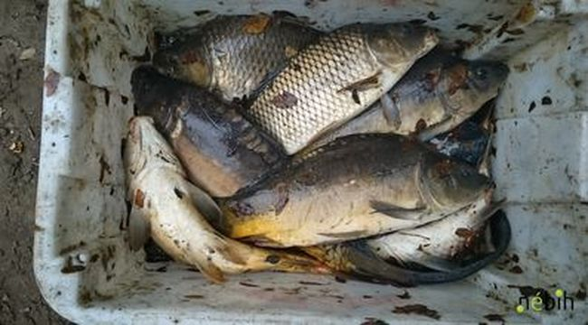 Illegális halárusnál csaptak le az ellenőrök Baján, ezt találták a házban