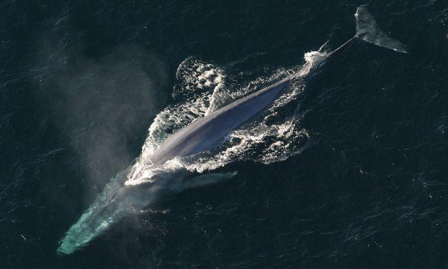 """Illegális """"bálnabörtönt"""" találtak: drónnal vették észre a több mint 100 fogva tartott állatot"""