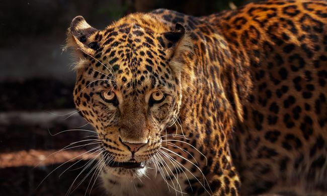 Ijesztő, mekkora ereje van az elszabadult jaguárnak: acélkábeleket szaggatott szét