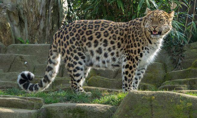 Szomorú hírt közöltek a tudósok, ebből a csodálatos állatból alig pár tucat maradt