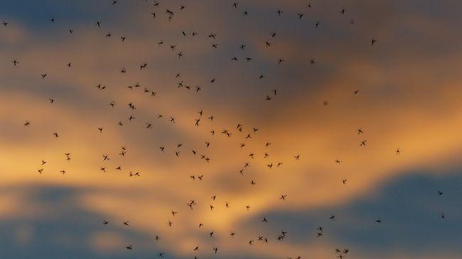Szúnyogok terjesztik a halálos kórt, már öt halálos áldozata van a betegségnek szomszédainknál