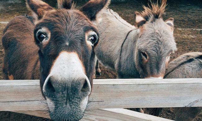 Végre az állatokra is figyelnek, nem ülhetnek szamárhátra a túlsúlyos turisták