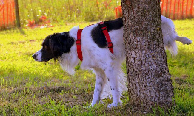 Hazudósak a kisebb termetű kutyák, így próbálják megtéveszteni riválisaikat