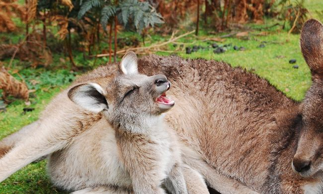 Korábban 250 kilósak voltak a kenguruk - nem tudni, miért kezdtek el ugrálni