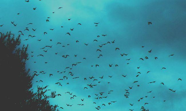 Óvatosságra intették a lakókat, részeg madarak randalíroznak a városban