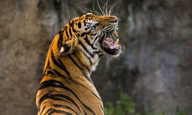 Szomorú változás a törvényekben: Kínában újra veszélyeztetett fajok testrészeit fogják árulni