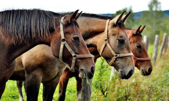 Szomorú következménye van az óriási szárazságnak, ebben az országban leölik a lovakat