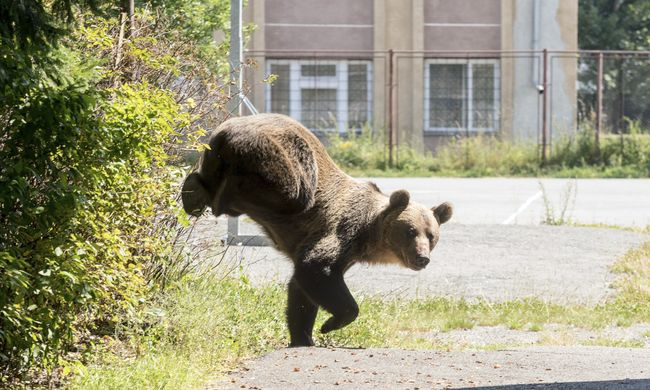 Ha jön a medve, le a földre