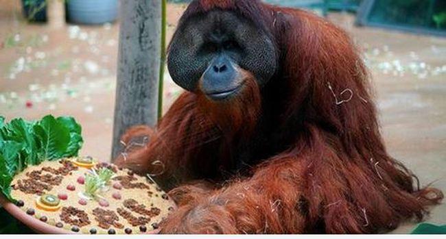 Németül tanul az állatgondozó, így akar szót érteni az orángutánokkal