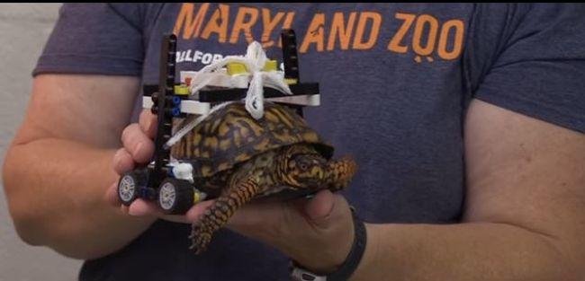 Megható videó: legóból készült kerekesszéket kapott a sérült teknős