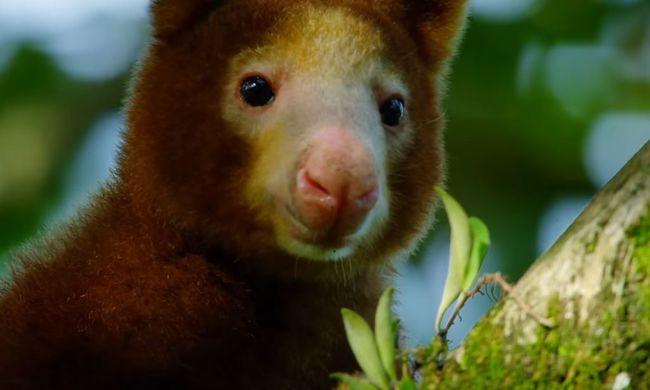Eddig még csak egyszer látták a fán lakó kengurut, egy tudós megtalálta a kihaltnak hitt állatot