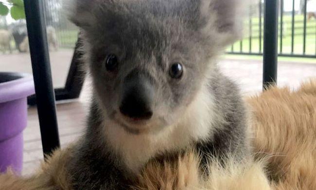 Ennél cukibb ma nem lesz: egy koalabébivel a hátán tért haza a hős kutya
