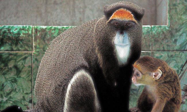 Döbbenet Brüsszelben: még védett majmok húsát is árulják az üzletek