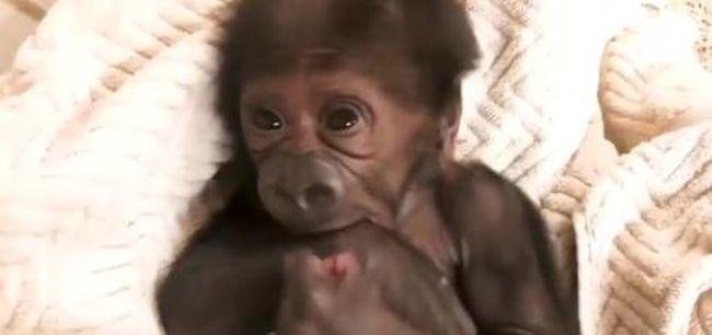 Ennél cukibb ma nem lesz: így ismerkedik a világgal az újszülött gorillabébi