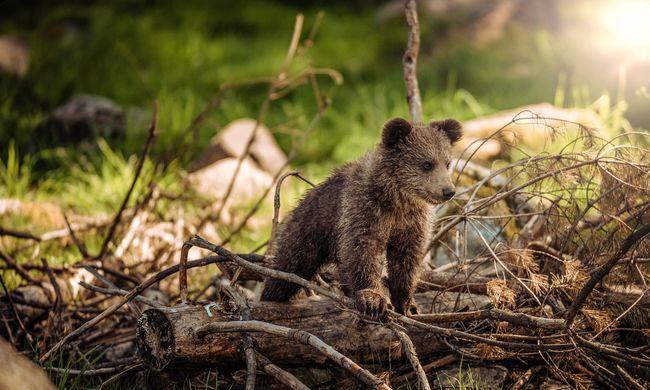 Interneten árulják a medvéket, ebben a országban engedély nélkül is tartható otthon