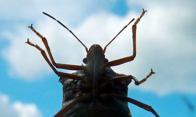 Tovább tombol a poloskajárvány, már nem csak nálunk okoznak problémát a rovarok