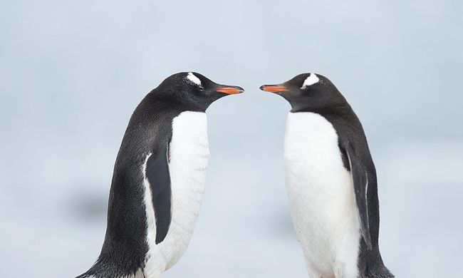 Kiköltötte a rájuk bízott tojást a meleg pingvinpár