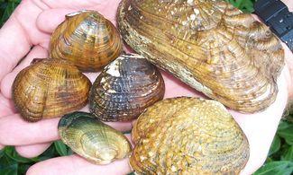 kagyló parazitákat