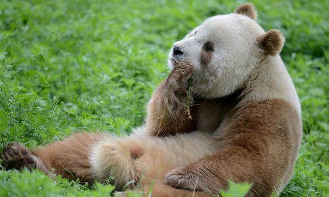Jó hír jött a pandákról: megsokszorozódott az egyik alfaj tagjainak száma