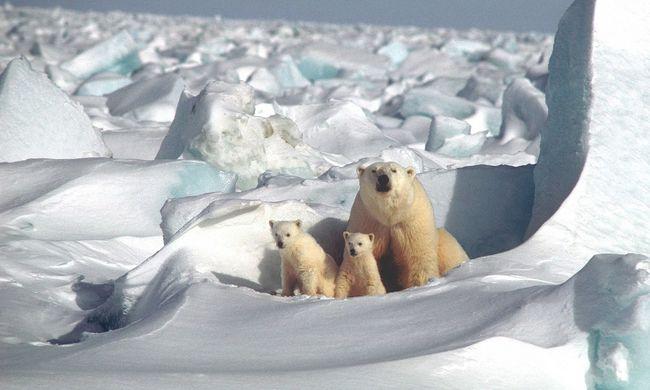 Több ezer jegesmedve került elő a semmiből: ez a titkuk