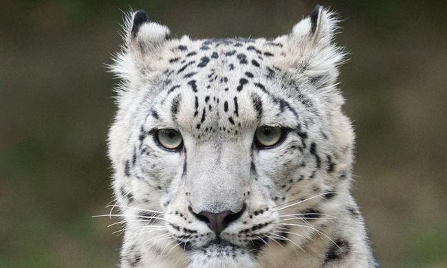 Kiszabadult az állatkertből a ritka ragadozó, a gondozók agyonlőtték az állatot