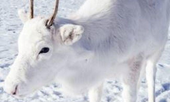 Lélegzetelállító fotó, hófehér rénszarvas tűnt fel a havas tájon